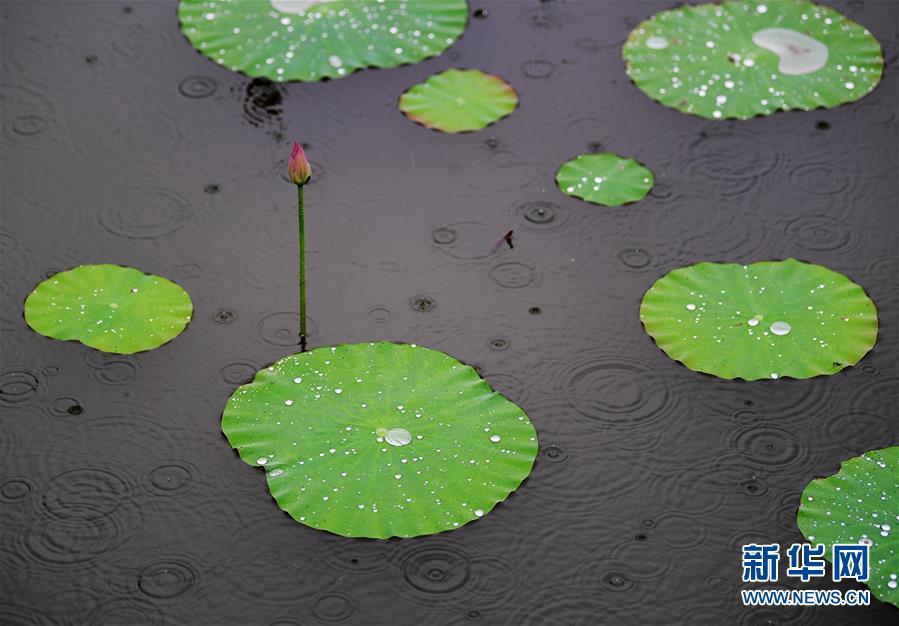 6月5日,江苏海安一处荷塘里的荷花在雨中更显清丽。 新华社发(顾华夏 摄)