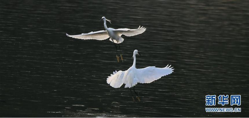 6月5日,两只白鹭在北京市海淀区清河河面上嬉戏。 新华社发(刘宪国 摄)